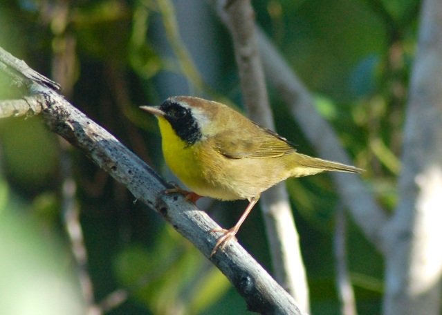 Common Yellow-throat, Abaco (Becky Marvil)