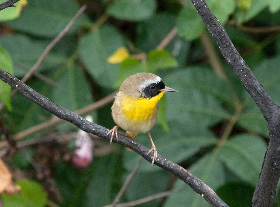 Common-yellowthroat, Abaco (Erik Gauger)
