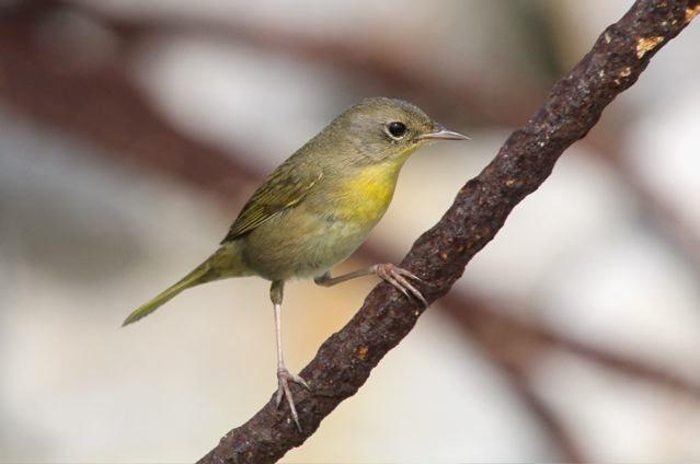 Common Yellowthroat (f) Bruce Hallett IMG_4057