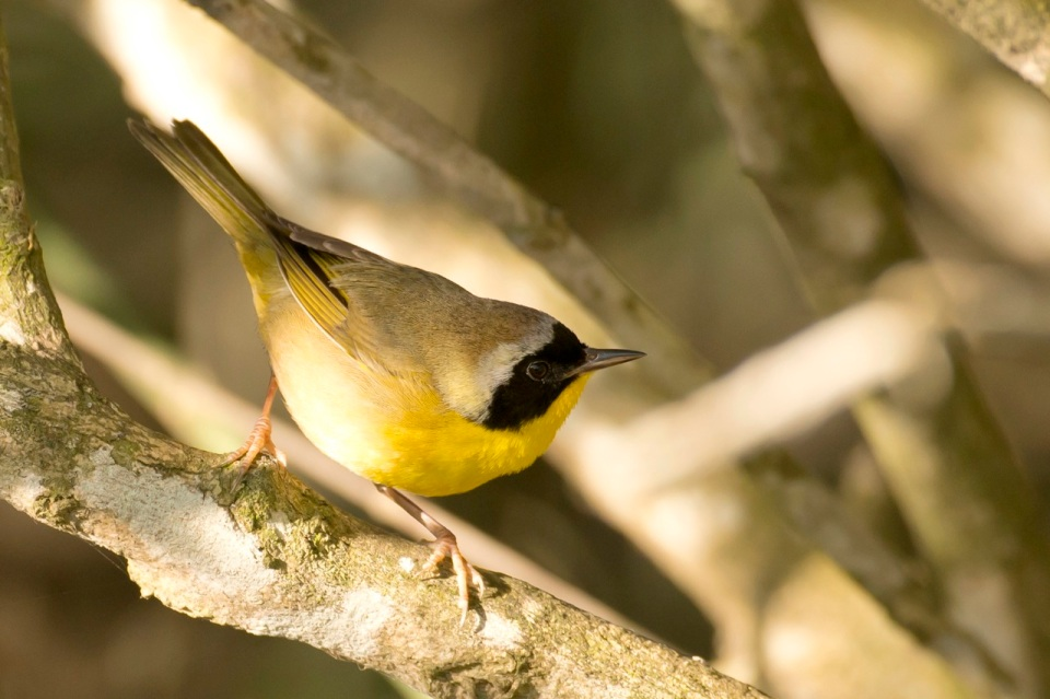 Common Yellowthroat, Gilpin Pond, Abaco Bahamas (Tom Sheley)