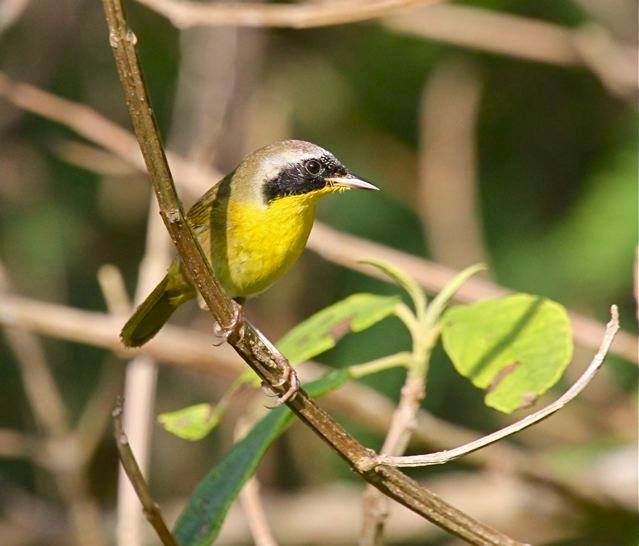 Common Yellowthroat (m) Bruce Hallett IMG_4232