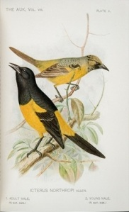 Icterus Northropi illustrated in A Naturalist in the Bahamas (plate 1)