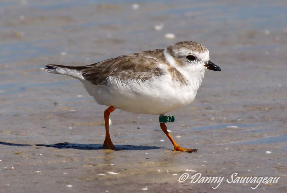 Piping Plover, Florida (Danny Sauvageau 1)