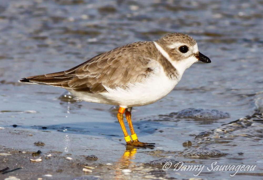 Piping Plover, Florida (Danny Sauvageau 2)