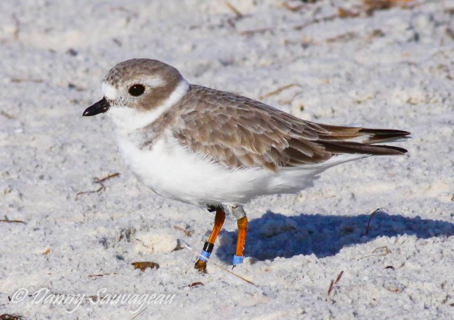 Piping Plover, Florida (Danny Sauvageau 3)
