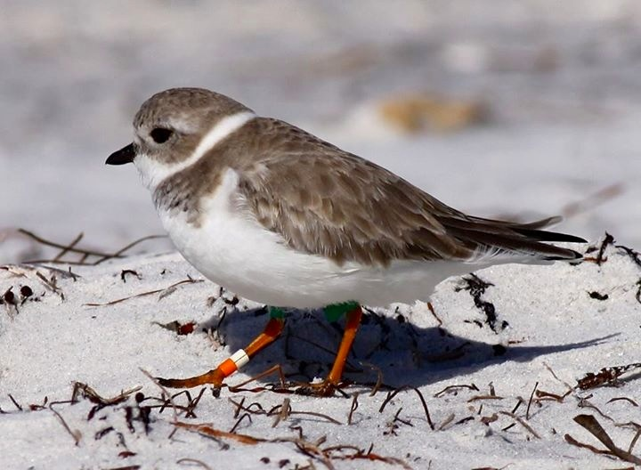 Piping Plover, Florida (Danny Sauvageau 5)