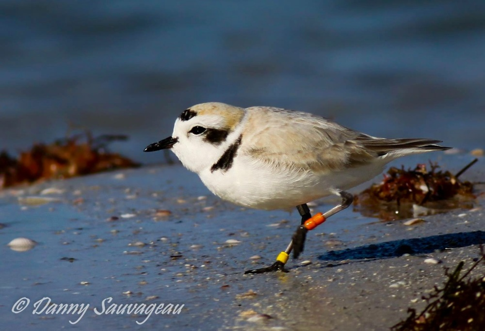 Piping Plover, Florida (Danny Sauvageau 6)