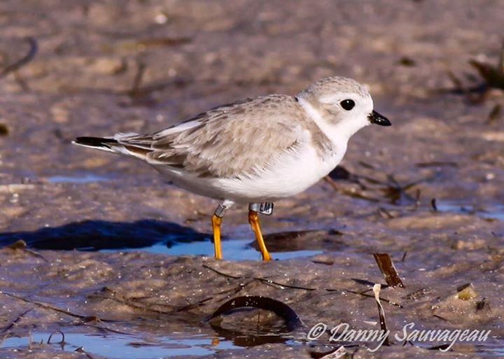 Piping Plover, Florida (Danny Sauvageau 7)