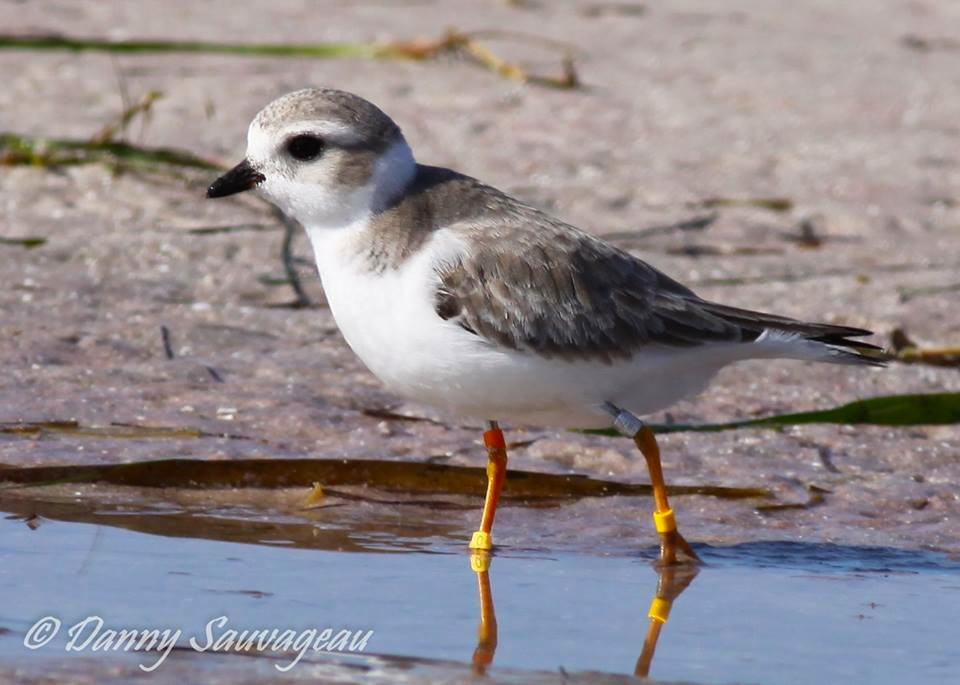 Piping Plover, Florida (Danny Sauvageau 9)