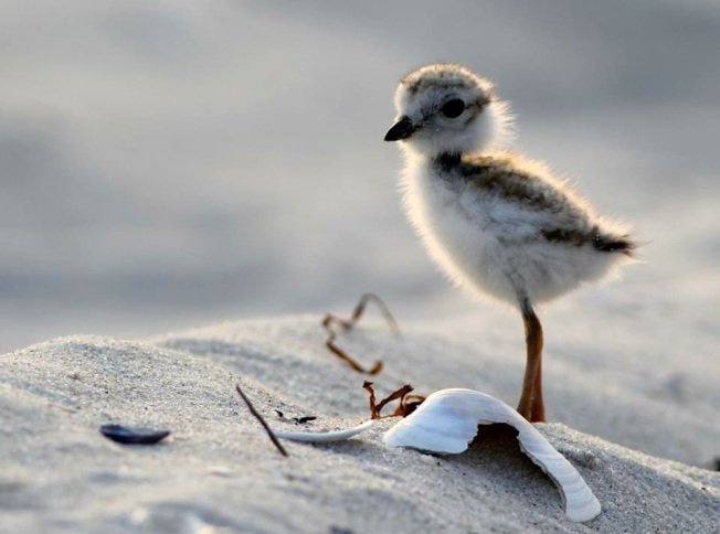 Piping Plover chick (ex-FB, original lource unknown)