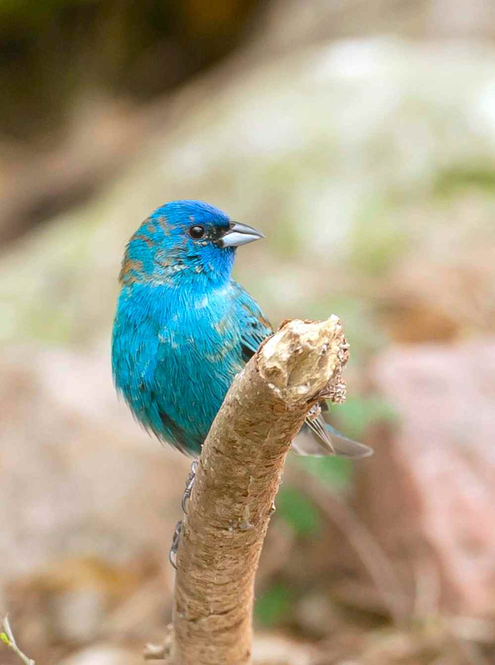 Indigo Bunting.BPS.Abaco Bahamas.Tom Sheley