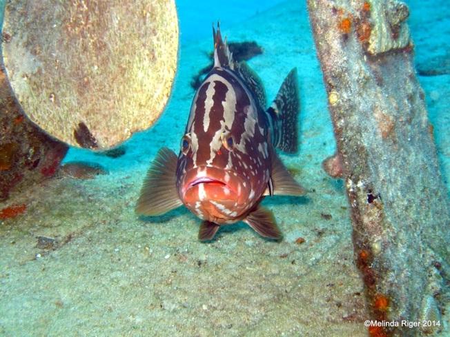 Nassau Grouper ©Melinda Riger @ G B Scuba copy 2