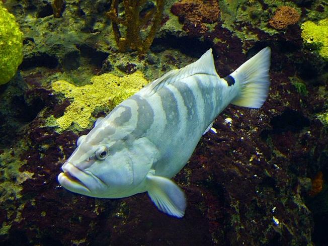Nassau Grouper (Rick Smit wiki)