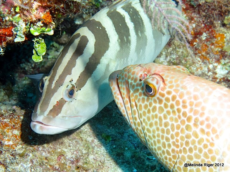 Nassau & Tiger Grouper ©Melinda Riger @ Grand Bahama Scuba  copy