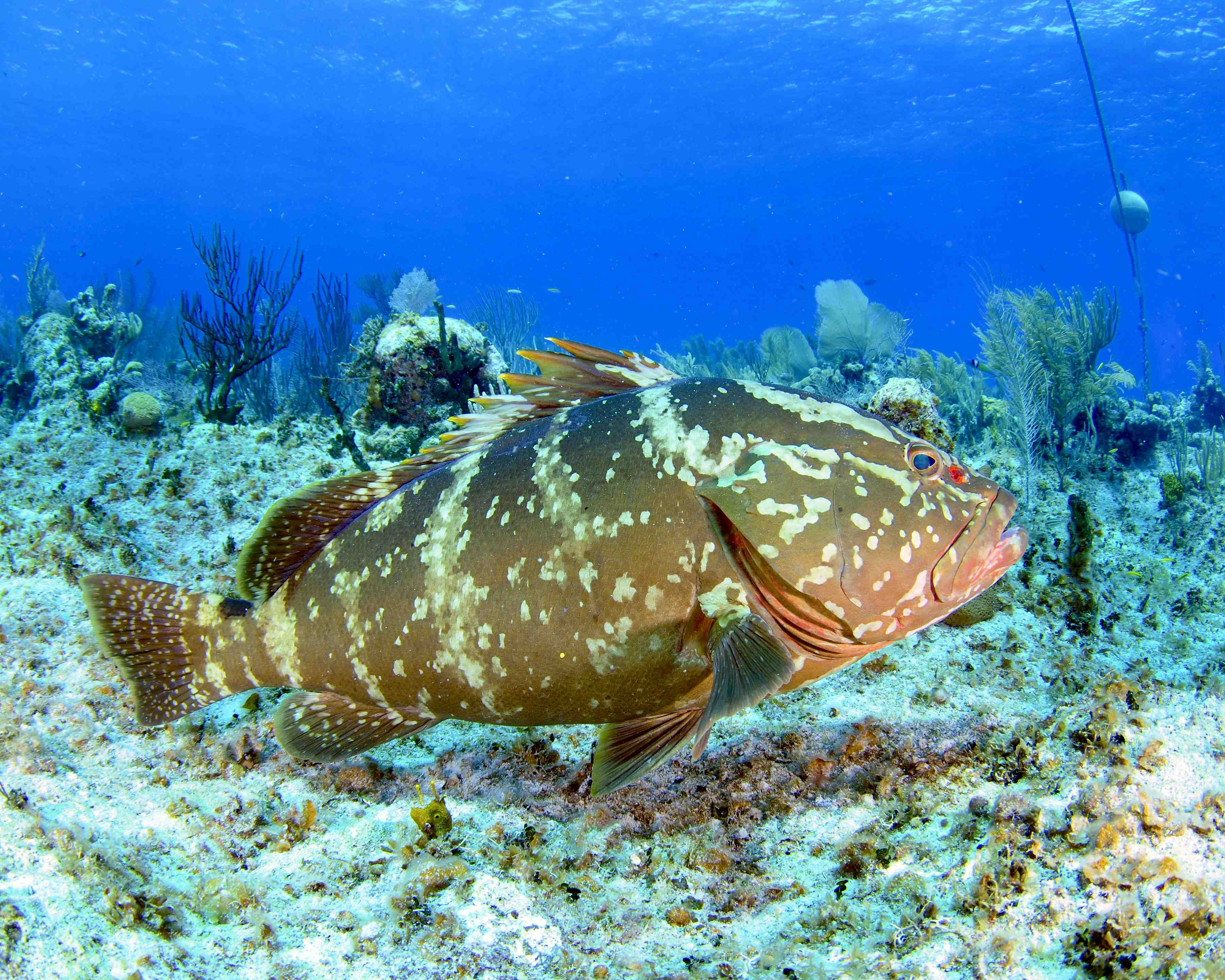 NASSAU GROUPER: VULNERABLE, ENDANGERED? & NOW PROTECTED ROLLING ...