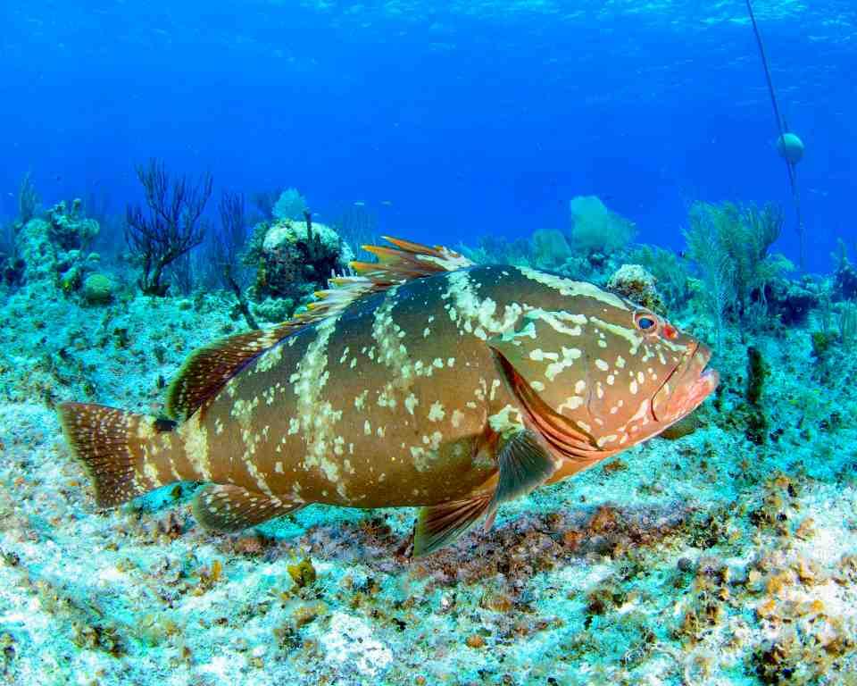Nassau Grouper, Bahamas (Melinda Riger)