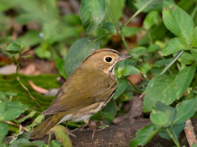 Ovenbird.Abaco Bahamas.Tom Sheley.2