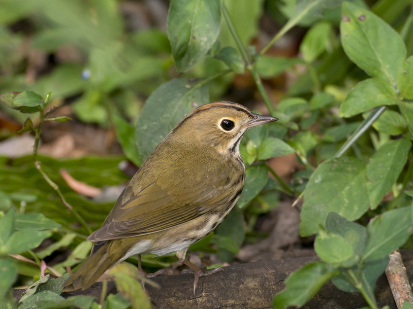 Ovenbird.Abaco Bahamas.Tom Sheley.2