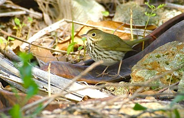 Ovenbird, Abaco - Bruce Hallett