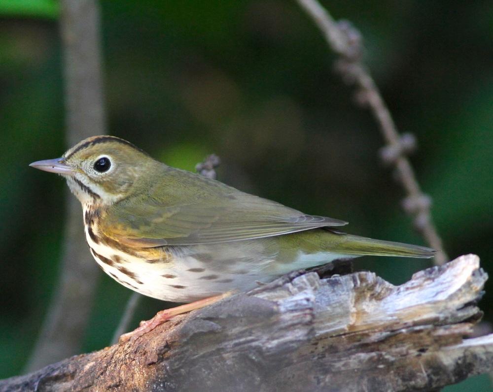 Ovenbird, Abaco (Gerlinde Taurer)