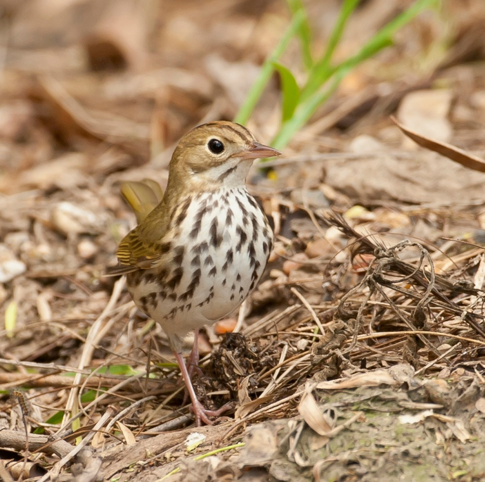 Ovenbird.Bahama Palm Shores.Abaco Bahamas.Tom Sheley