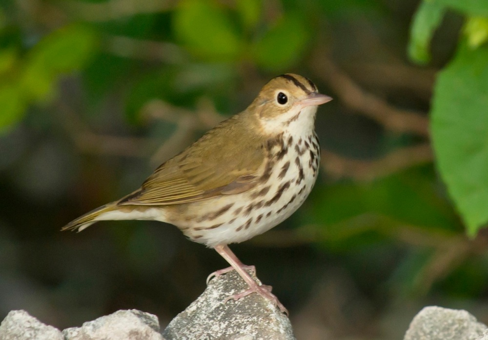 Ovenbird.Delphi Club.Abaco Bahamas.Tom Sheley.1