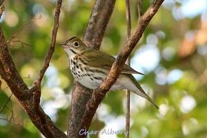 Ovenbird, M-o-W Abaco (Char Albury 1)