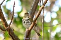 Ovenbird, M-o-W Abaco (Char Albury 2)
