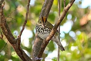 Ovenbird, M-o-W Abaco (Char Albury 3)
