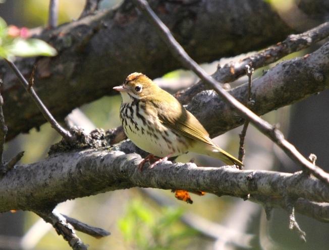 Ovenbird Seiurus aurocapilla (Cephas, wiki)