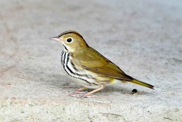 Ovenbird, Abaco  Woody Bracey