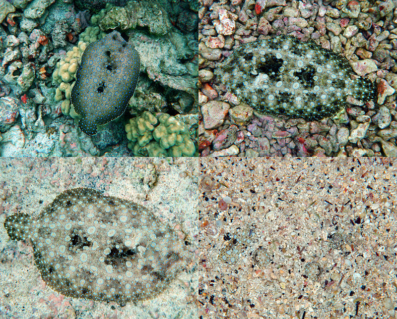 Reef snorkelling abaco rolling harbour abaco for Picture of a flounder fish