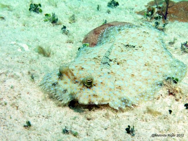 Peacock Flounder ©Melinda Riger @ Grand Bahama Scuba