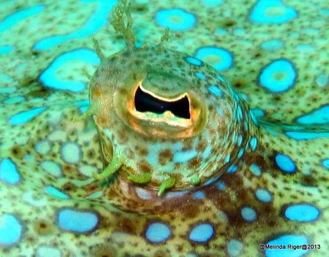 Peacock Flounder Eye ©Melinda Riger @ G B Scuba