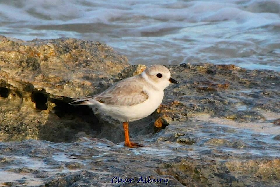 Piping Plover, Abaco - Charmaine Albury