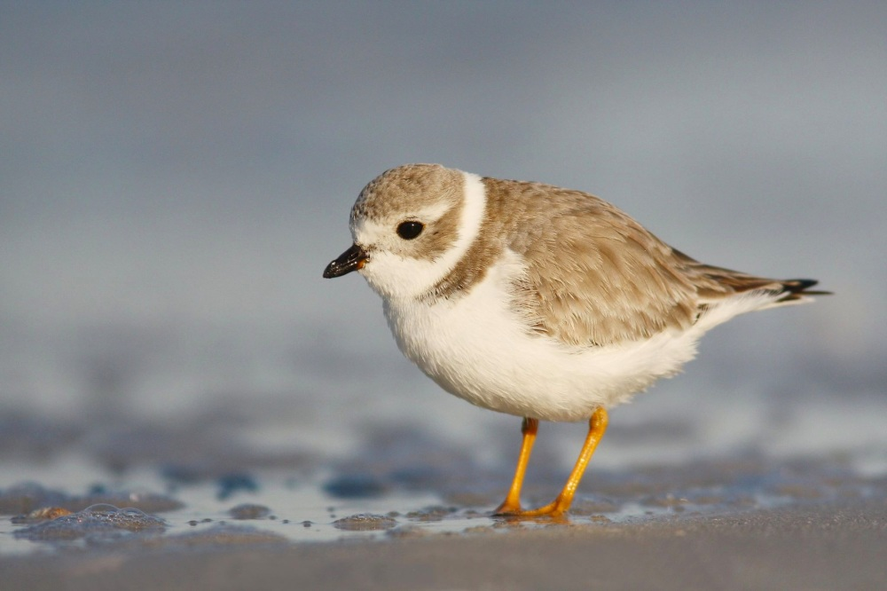 Piping Plover Conserve Wildlife Foundation NJ.JPG