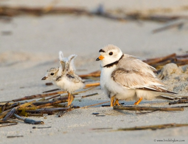 Piping Plover Chick NJ (Kim / CWFNJ)