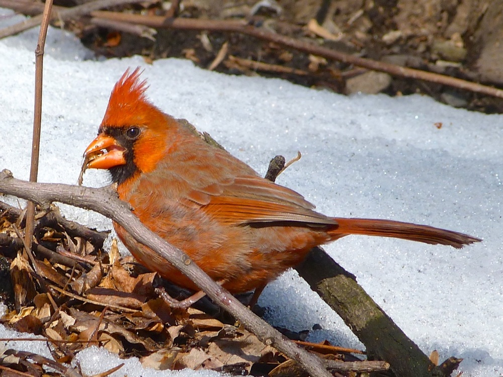 Red Cardinal CP NYC 2
