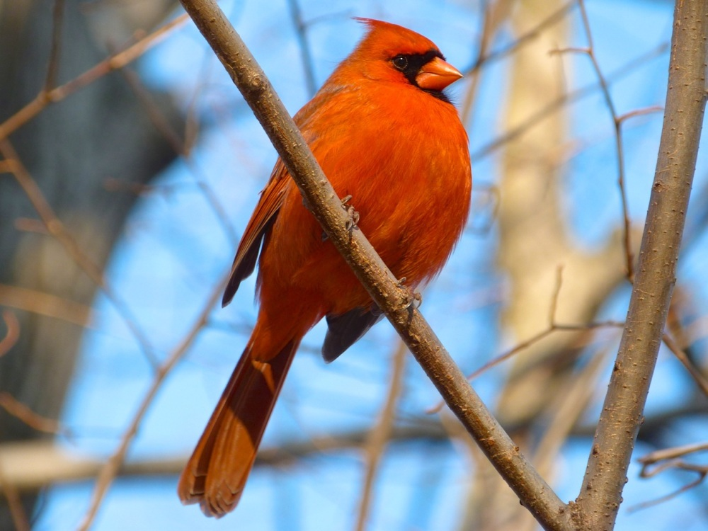Red Cardinal CP NYC 3