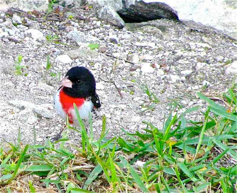Rose-breasted Grosbeak, Delphi, Abaco (Caroline Stahala)