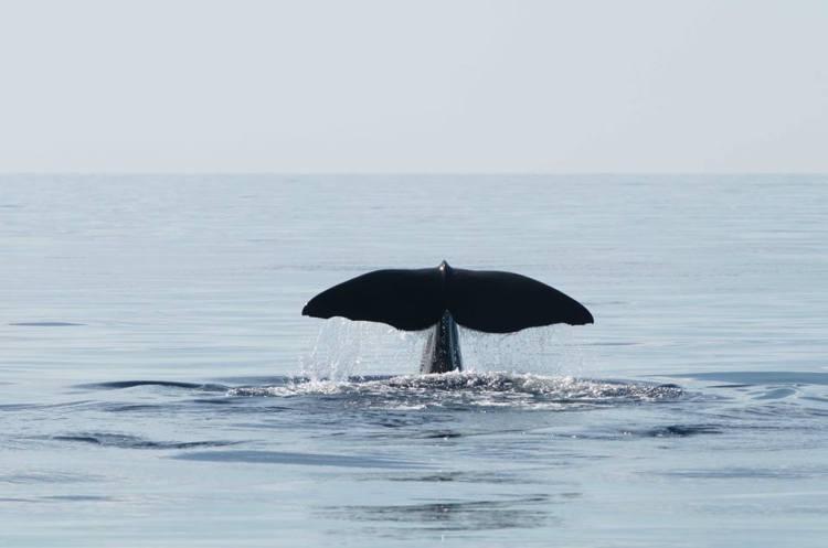 Sperm Whale, Abaco Bahamas (BMMRO)