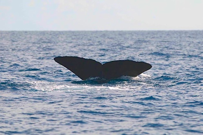 Sperm Whale, Sandy Point, Abaco BMMRO1