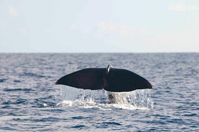 Sperm Whale, Sandy Point, Abaco BMMRO2
