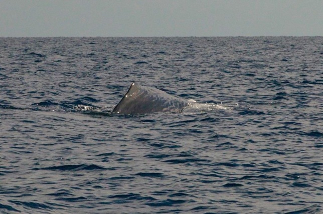 Sperm Whale, Sandy Point, Abaco BMMRO3