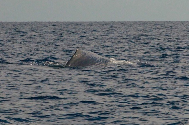 Sperm Whale, Sandy Point, Abaco BMMRO3