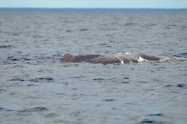Sperm Whale, Sandy Point, Abaco BMMRO4