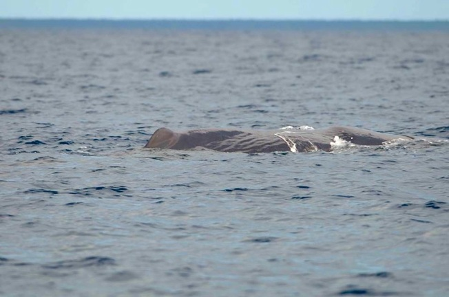 Sperm Whale, Sandy Point, Abaco BMMRO4