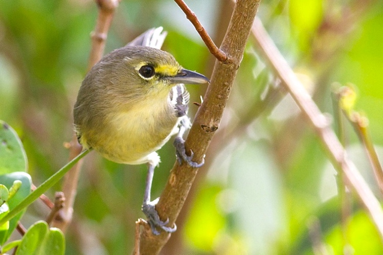 Thick-billed Vireo, Abaco 2 Tom Reed