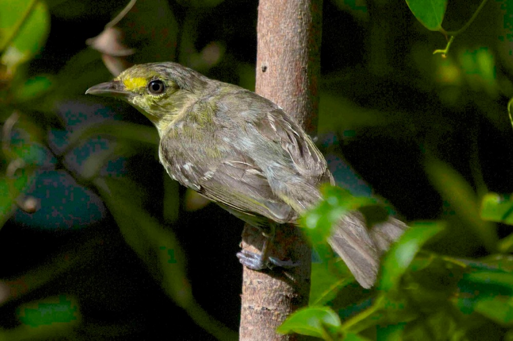 Thick-billed Vireo, Abaco (Alex Hughes)