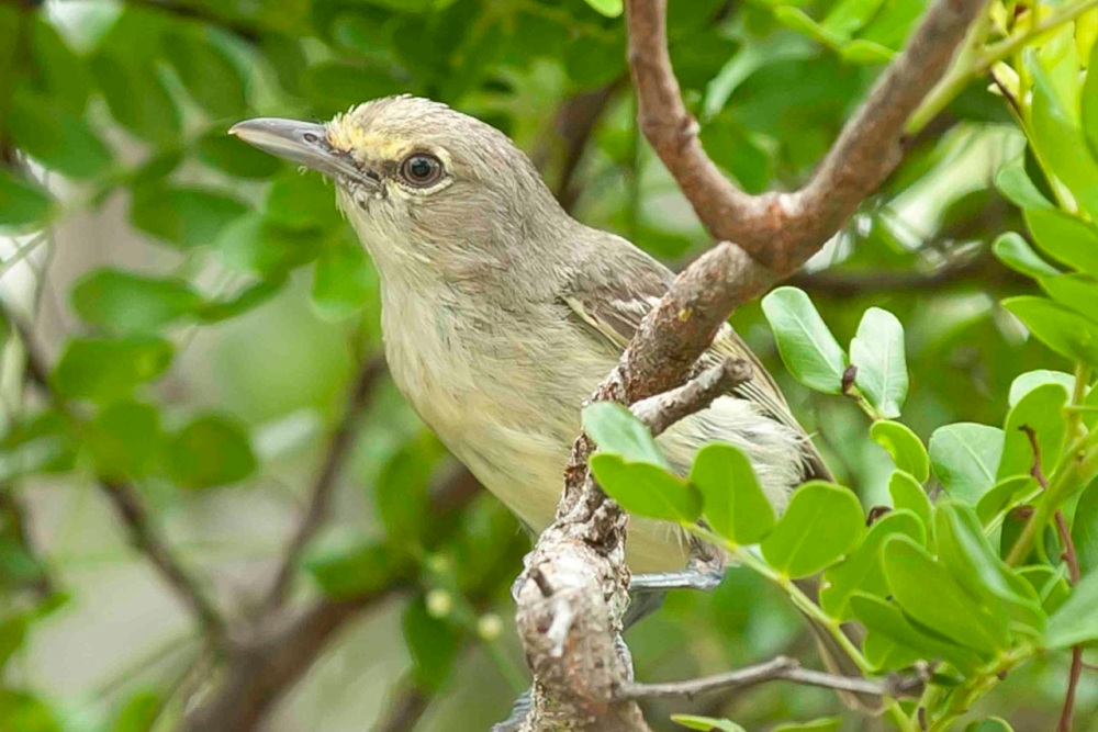 Thick-billed Vireo, Abaco Bahamas .Tom Sheley